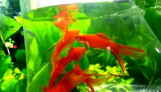 Khái quát thông tin về cá Kiếm: môi trường, thức ăn, đặc điểm sinh học