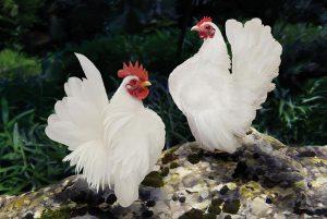 Các giống gà cảnh đẹp
