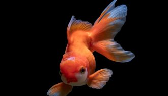 Cá vàng 3 đuôi: tập tính sinh sống và cách chăm sóc