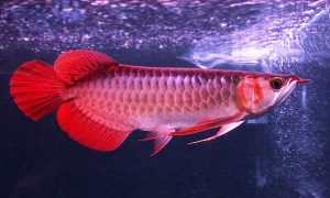 Bạn có biết lý do vì sao cá Rồng Huyết Long lại đắt đỏ đến vậy?
