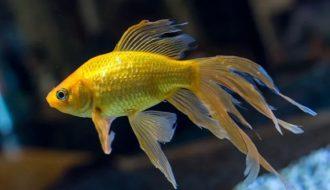 Cá đuôi quạt - mẹo chăm sóc và chữa bệnh thường gặp