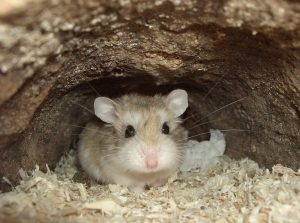 Hướng dẫn các cách huấn luyện chuột Hamster