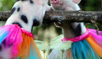 Các chuyên gia chia sẻ kinh nghiệm nuôi lợn cảnh mini