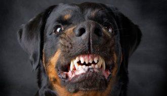 Các sai lầm khi huấn luyện chó khiến thú cưng ngày càng hung dữ