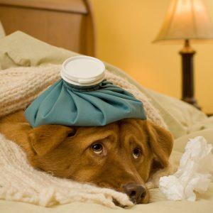 Cách chăm sóc và bí quyết chữa trị chó bệnh Care hiệu quả