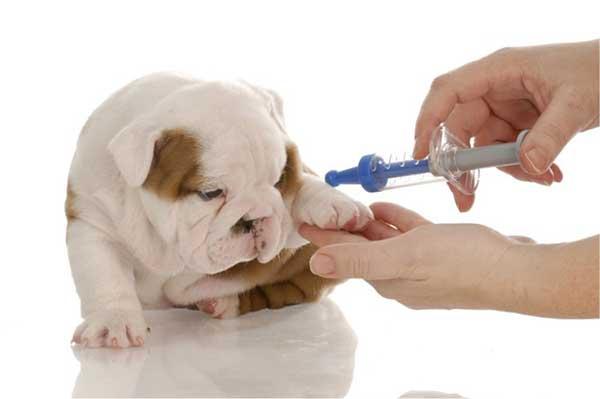 Bệnh về viêm phế quản ở chó con