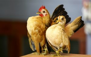 kỹ thuật chăm sóc gà