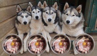 Chế độ ăn cho chó Husky khỏe mạnh có bộ lông dày và mềm mượt