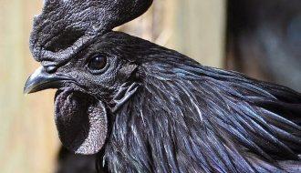 Chiêm ngưỡng giống gà đen toàn thân ở Indonesia