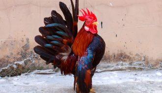Chỉnh dáng để gà serama có một ngoại hình cuốn hút