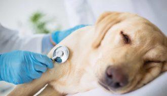 Chó bị chướng bụng thì điều trị như thế nào cho hiệu quả ?