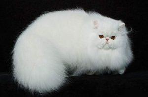 Mèo Ba Tư có bộ lông quyến rũ