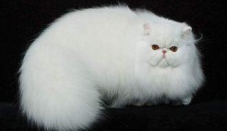 Chú mèo có bộ lông quyến rũ bậc nhất: Mèo Ba Tư
