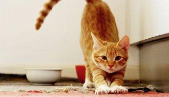 Chủ nuôi nên làm gì khi phát hiện mèo đến thời điểm động đực?