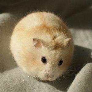 Chuột Hamster Winter White thay đổi màu lông