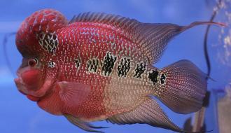 [Có thể bạn chưa biết] Danh sách các loại cá La Hán đẹp