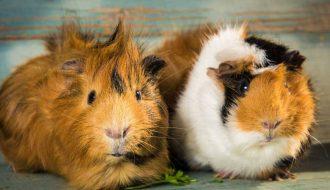 Cùng tìm hiểu về những đặc tính của loài chuột lang để chăm sóc chúng thật tốt nhé!