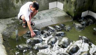 Đâu là cách giúp giảm tỉ lệ nuôi rùa bị bệnh khi chuyển từ nuôi lồng sang thả rông?