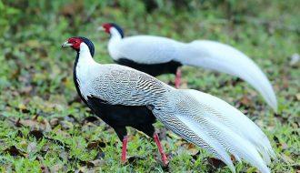 Gà lôi trắng - giống gà cảnh quý giá ngàn đô cần được bảo tồn