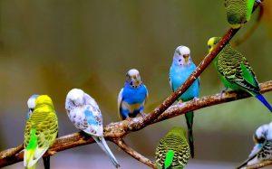 Những loại chim cảnh dễ nuôi nhất