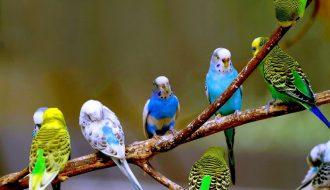 Giới thiệu những loại chim cảnh dễ nuôi nhất có thể nuôi ở trong nhà