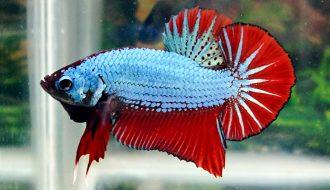 Giới thiệu về đặc điểm của dòng cá Betta Plakat độc lạ