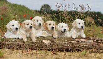 Golden Retriever - một trong những loài chó bạn nên sở hữu