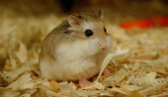 Hamster bị ướt đuôi, đâu là nguyên nhân và cách chữa trị?