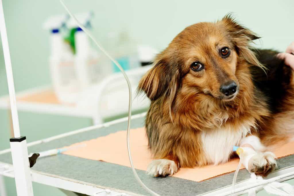 Bệnh Care ở chó cực kỳ nguy hiểm