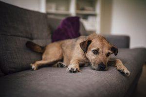 Bệnh Care ở chó