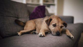 Hiểu rõ về bệnh Care ở chó - căn bệnh cực kỳ nguy hiểm