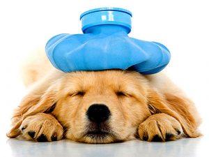 Hướng dẫn cách điều trị viêm phổi ở chó do vi khuẩn gây nên