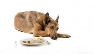 Khám phá những nguyên nhân khiến chó bỏ ăn để chữa trị hiệu quả