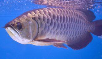 Khi cá Rồng bị bệnh rận nước thì làm sao để chữa trị triệt để bệnh này?