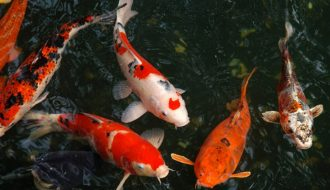 Nuôi và chăm sóc cá chép Nhật tương đối công phu