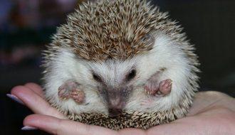 Kỹ thuật nuôi nhím kiểng dành riêng cho những ai yêu động vật