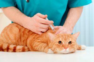 Làm cách nào để điều trị khi mèo bị tràn dịch màng phổi?