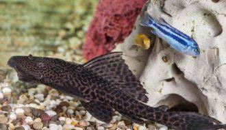 cá Pleco không dễ nuôi