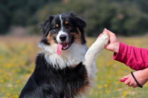 Top 10 giống chó khôn ngoan nhất hiện nay