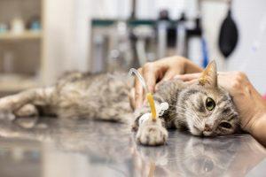 Làm thế nào để chữa trị cho mèo mắc bệnh ung thư ?