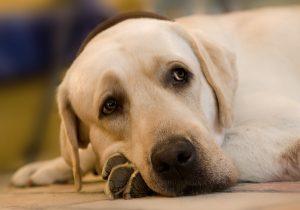 Làm thế nào để điều trị cho chó bị viêm gan mãn tính?