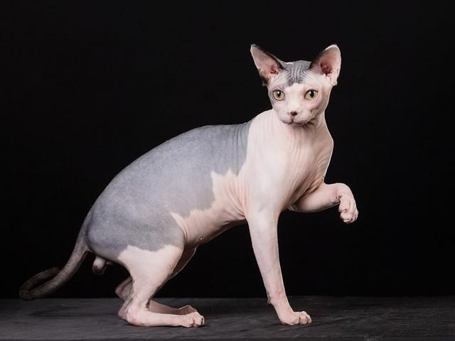 Cơ thể mèo Sphynx nhẵn nhụi, da chỉ có một lớp lông tơ mỏng đẹp