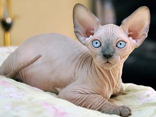 Mèo Sphynx thuần chủng