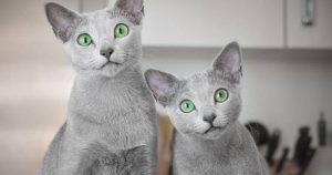 Mèo Nga (Rusian Blue)
