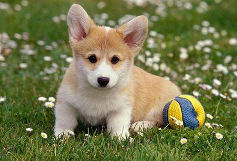 Cần chắm sóc cho giống chó Corgi vì nó không phù hợp với khí hậu của Việt Nam