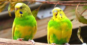 Chim vẹt Yến Phụng