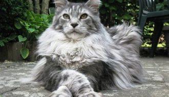 Mèo Maine Coon - Bé mèo đáng yêu mang hình hài vua sư tử