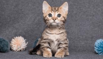 Mèo Munchkin - Tìm hiểu kỹ thuật chăm sóc hiệu quả