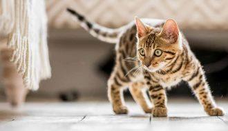 Mèo mướp có những đặc điểm gì khiến nhiều người yêu mến?