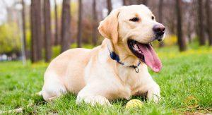 Mẹo nhỏ chăm sóc chó Labrador vừa thông minh, vừa trung thành